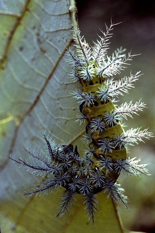Saturniid caterpillar