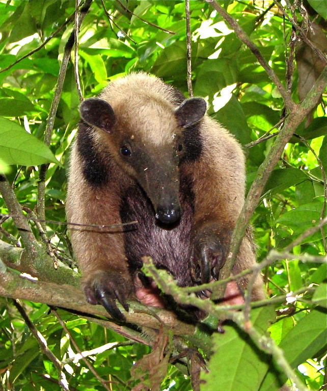 Collared anteater (Tamandua tetradactyla), Sirena, Corcovado National park, Costa Rica.  Spanish name is tamandua.