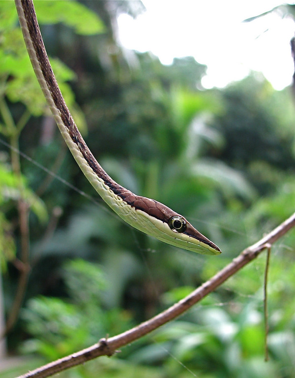 Brown vine snake (Oxybelis aeneus).  Campanario, Osa Peninsula, Costa Rica.  Spanish name is Bejuquillo café.