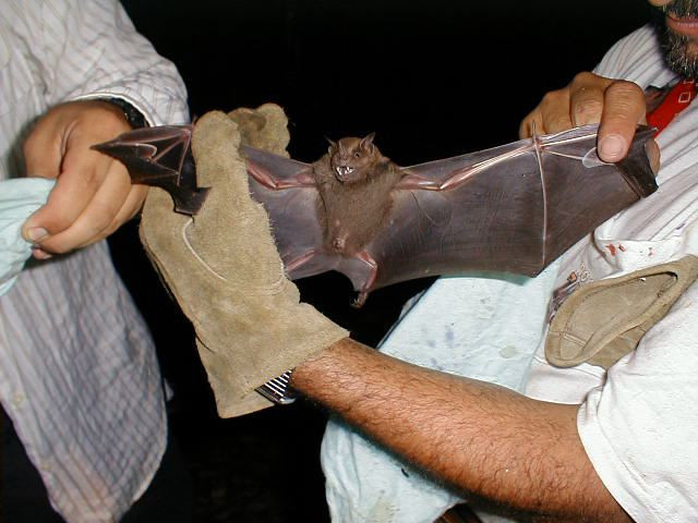 Fruit bat (Artibeus sp., probably jamaicensis) caught in a mist net at Campanario, Osa Peninsula, Costa Rica. This bat was of course released unharmed