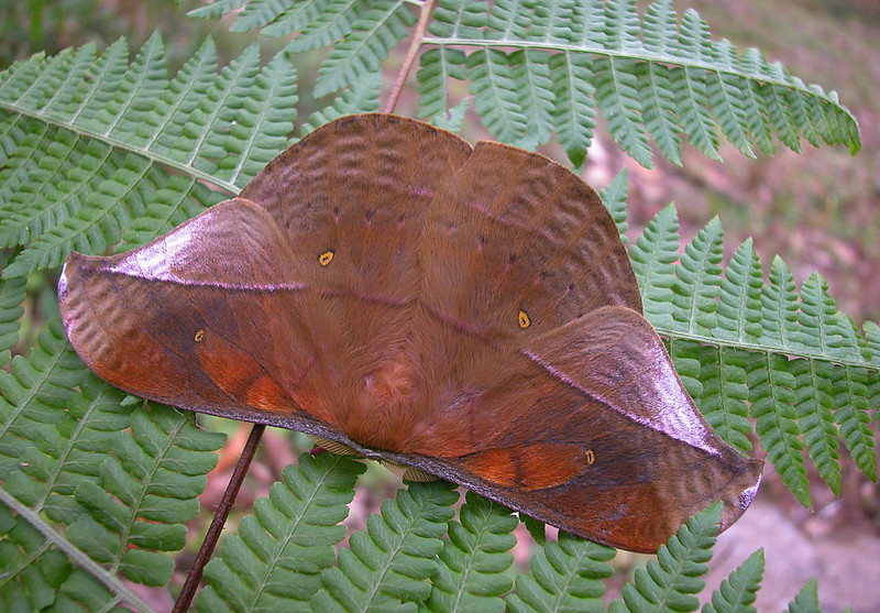 A saturniid moth (genus is possibly Lonomia).  It came to a black light at night at the Alberto Manuel Brenes Biological Reserve, near San Ramon, Costa Rica.