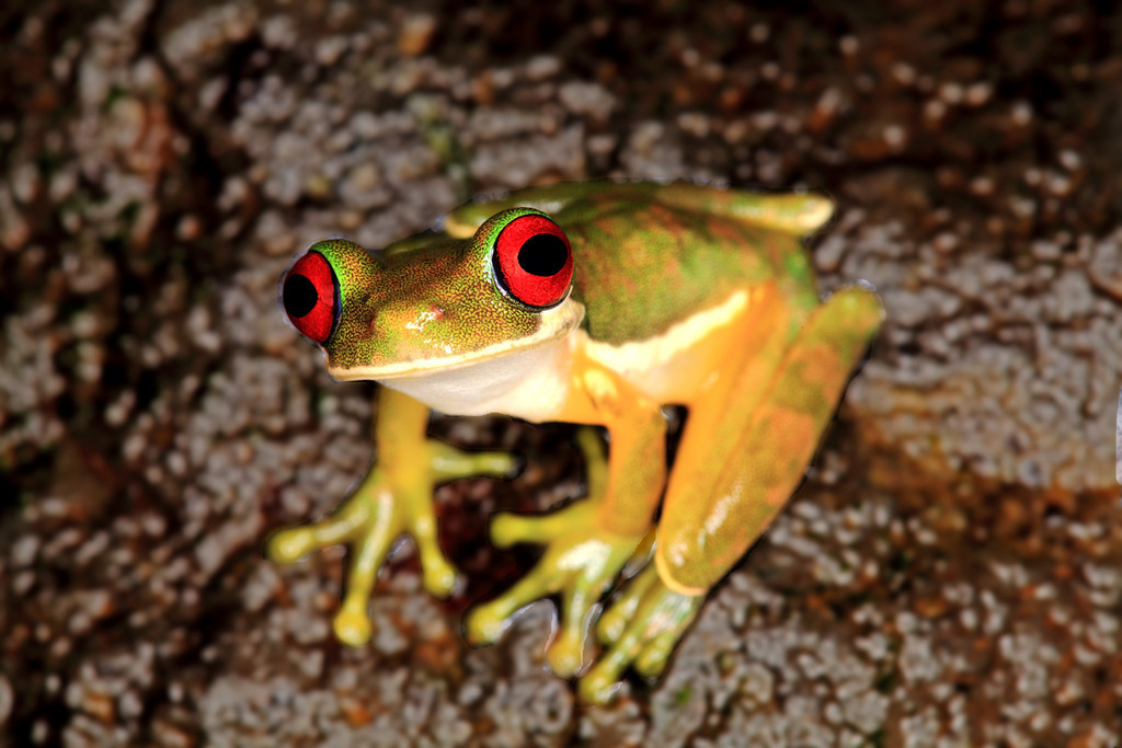 Small red eyed tree frog (Duellmanohyla rufioculis) on rocks in a stream at Alberto Manuel Brenes Biological Reserve, Costa Rica.