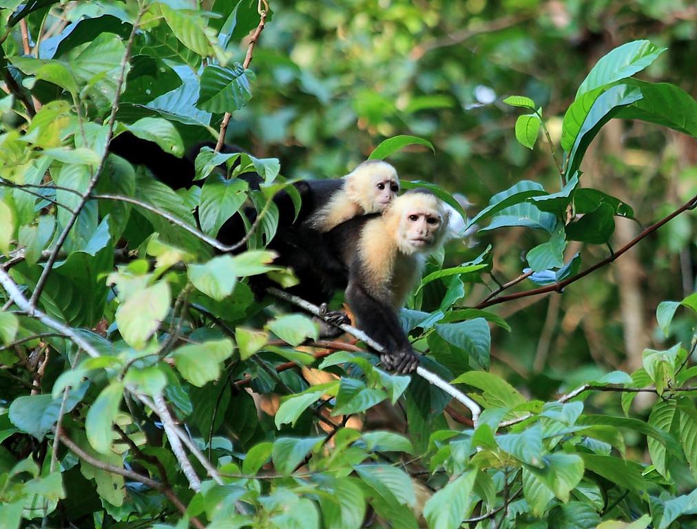 White Faced Capuchin monkeys (Cebus capucinus), Campanario, Costa Rica
