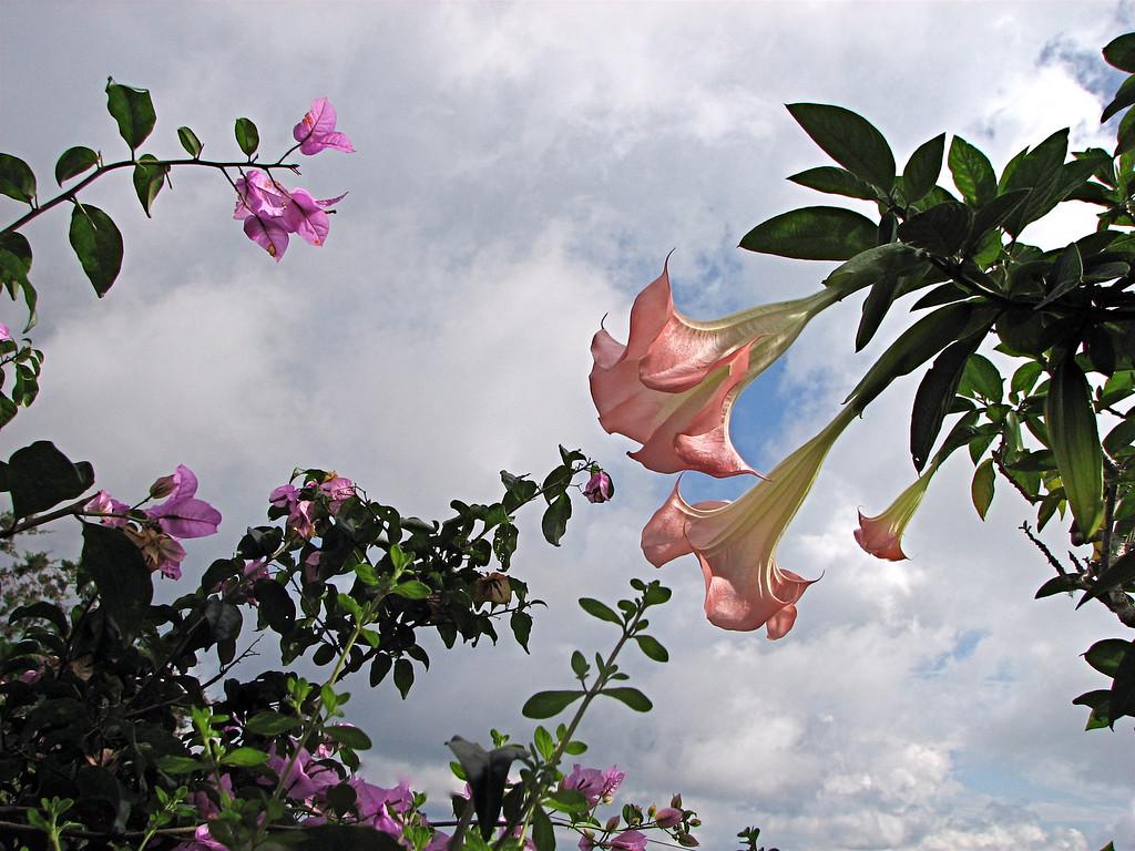 Datura arborea in a garden in the mountains above San Isidro, Costa Rica