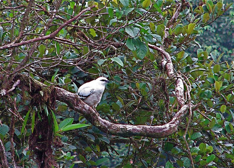 White Hawk (Leucopternis albicollis).