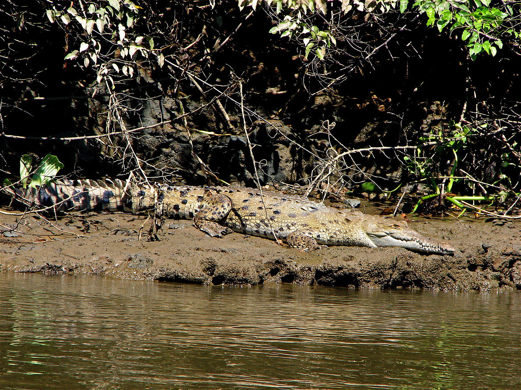 American crocodile (Crocodylus acutus) on the bank of the Sierpe River, Osa Peninsula, Costa Rica.  This is an adolescent, about 2.5 m long.  Spanish name is Cocodrilo.