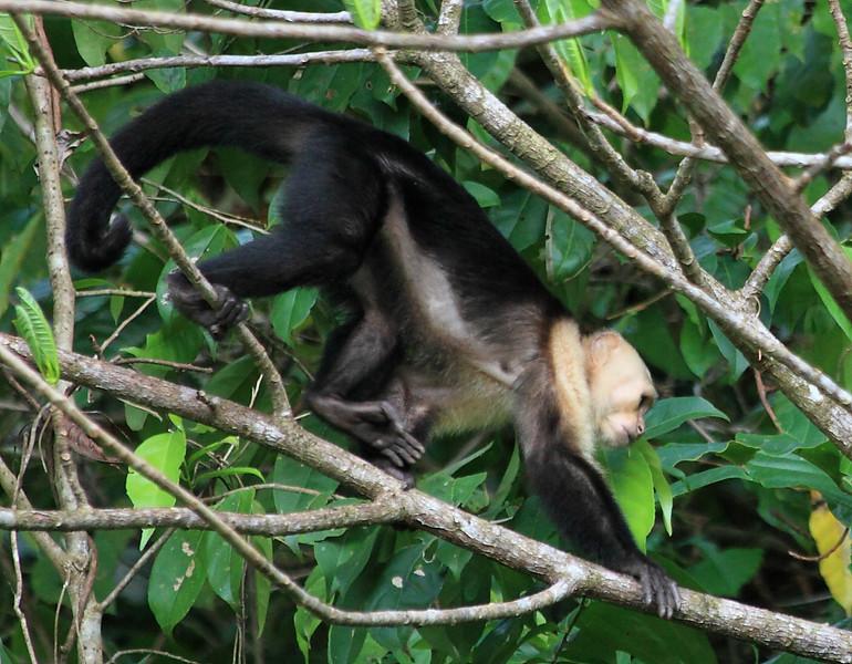 White Faced Capuchin (Cebus capucinus), Campanario, Costa Rica
