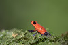 Strawberry Poison-dart Frog aka Blue Jeans Frog