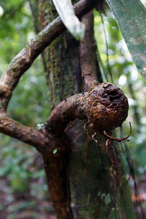 Interesting Tree Growth, Arenal Hanging Bridges Trail @ Arenal, Costa Rica