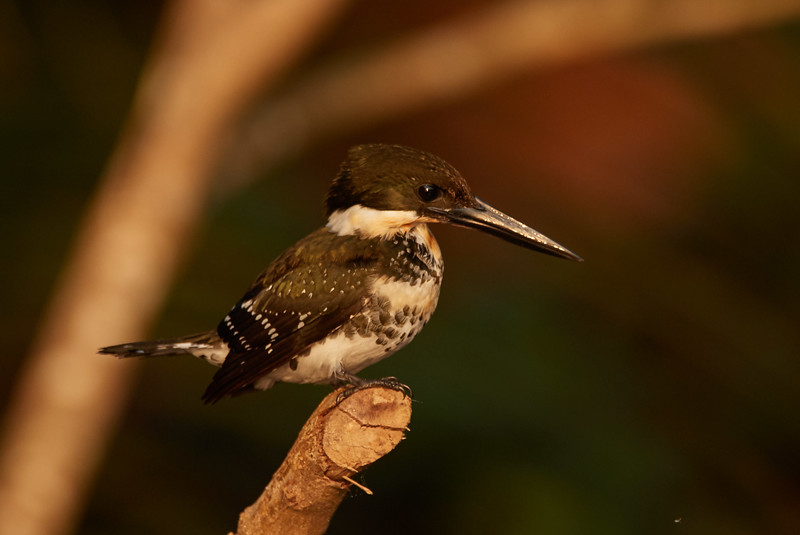 Green Kingfisher (female)