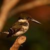 Green Kingfisher (female)