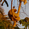 3-Toed Sloth-S