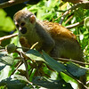 Squirrel Monkey-S