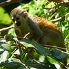 Squirrel Monkey-S
