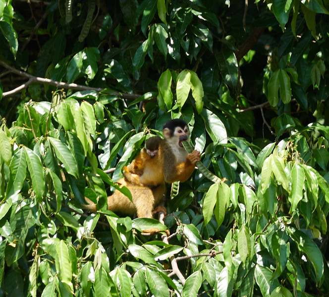 Squirrel Monkey with Baby-S