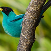 Green Honeycreeper-S