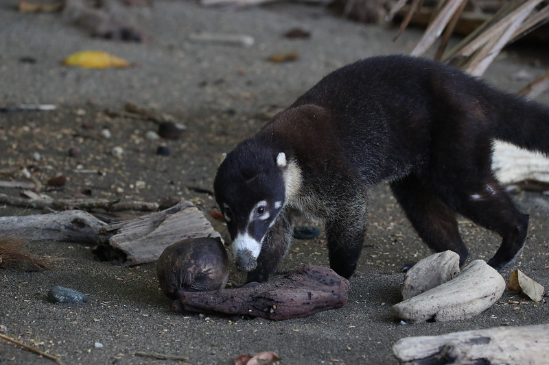 White Faced Coati Mundi