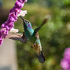 Green Violet-Earded Hummingbird-S