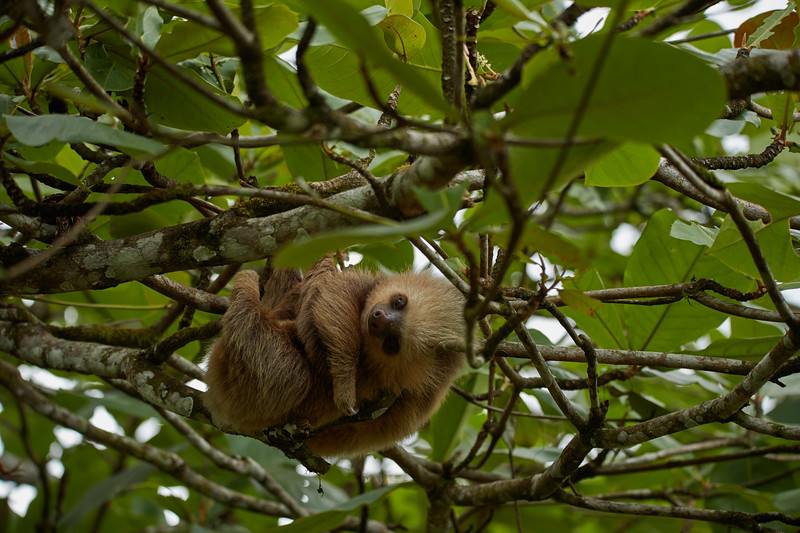 Two Toed Sloth (baby)