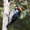 Acorn Woodpecker - S