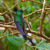 Sabrewing Hummingbird-S