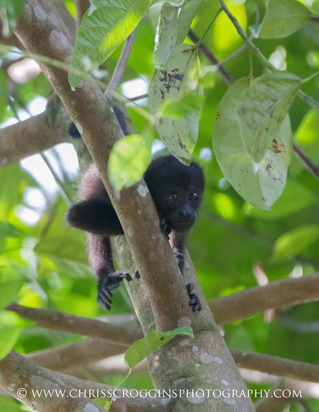 Baby Howler Monkey 2