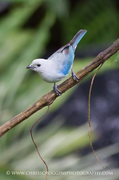 Bluegray Tanager