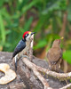 Black Cheeked Woodpecker, Costa Rica