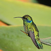 Green Violet-Eared Hummingbird-S