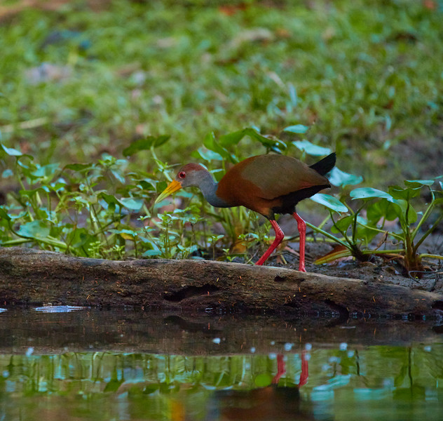 Grey Necked Wood Rail
