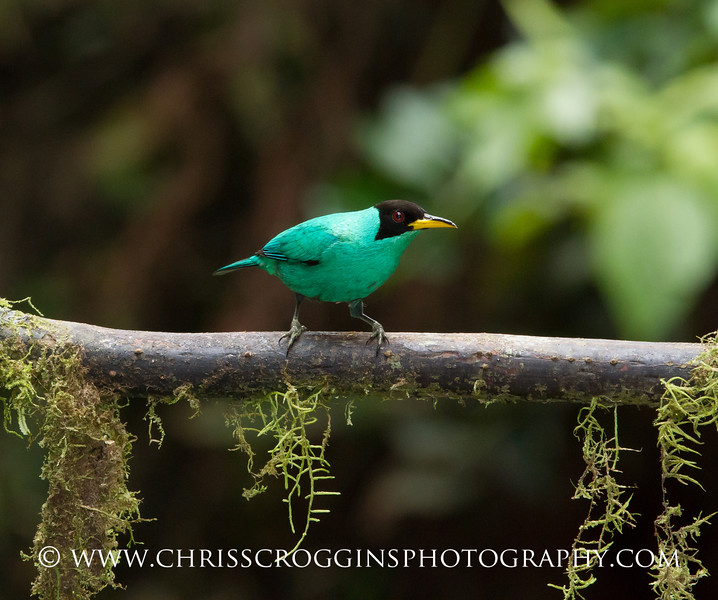 Green Honey Creeper