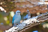Blue-gray tanager; Thraupis episcopus