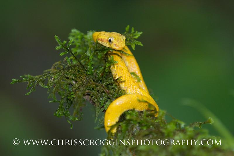 Baby Yellow Eyelash Viper