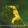 Baby Yellow Eyelash Viper