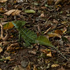 Green Basilisk (male)