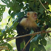 White Faced Capuchin carrying seed pods