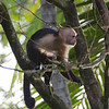 Capuchin Monkey 1