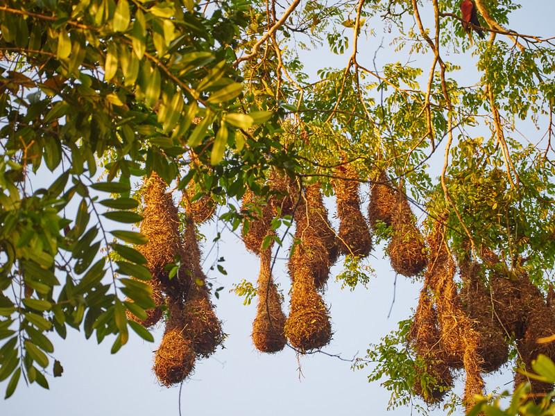 Montezuma Orapendulum nests-S