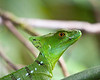 Basilisk lizard, Costa Rica