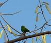 Parakeet on Playa Conchal