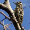 Veniliornis mixtus<br /> Pica-pau-chorão fêmea<br /> Checkered Woodpecker female<br /> Carpintero bataraz - Ypekû mbatara