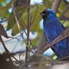 Stephanophorus diadematus<br /> Sanhaçu-frade<br /> Diademed Tanager<br /> Frutero azul - sai rusu