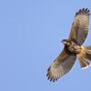 Parabuteo unicinctus<br /> Gavião-asa-de-telha imaturo<br /> Harris's Hawk immature<br /> Gavilán mixto - Taguato