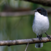 Poospiza melanoleuca<br /> Capacetinho<br /> Black-capped Warbling-Finch<br /> Monterita cabeza negra - Chivi chivi
