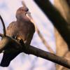 Patagioenas picazuro<br /> Pombão-asa-branca<br /> Picazuro Pigeon<br /> Paloma turca - Pykasuro