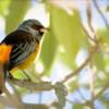 Pipraeidea bonariensis<br /> Sanhaçu-papa-laranja<br /> Blue-and-yellow Tanager<br /> Naranjero - Akâ chovy