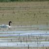 Cygnus melancoryphus<br /> Cisne-de-pescoço-preto<br /> Black-necked Swan<br /> Cisne de cuello negro