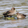 Anas flavirostris<br /> Marreca-pardinha<br /> Yellow-billed Teal<br /> Pato barcino - Ype ku'a