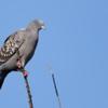 Patagioenas maculosa<br /> Pomba-do-orvalho<br /> Spot-winged Pigeon<br /> Paloma manchada - Apykasu