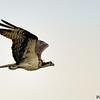 Pandion haliaetus<br /> Águia-pescadora<br /> Osprey<br /> Taguato rye morotî -